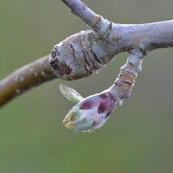 Pommier - bourgeon