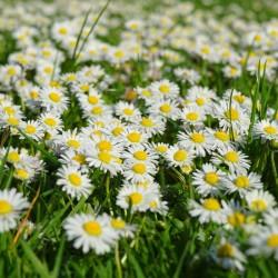 fleurs de pâquerette
