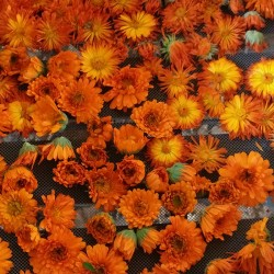 fleurs de calendula au séchage