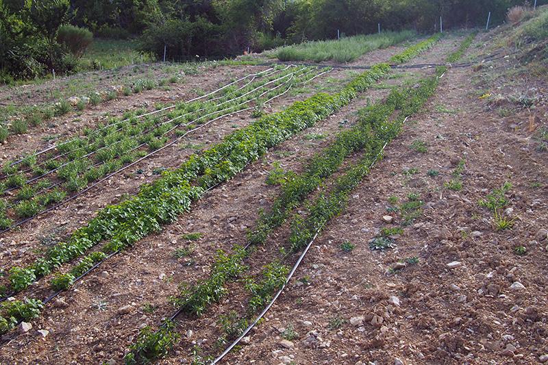 irrigation par goutte à goutte