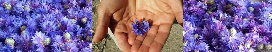 fleurs de bleuet en cours de séchage