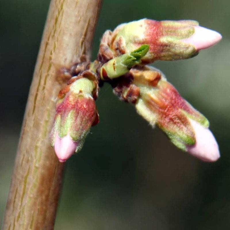 bourgeon de feuilles et fleurs d'amandier