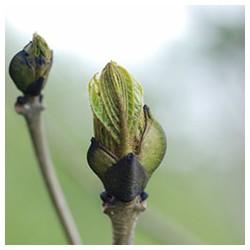 bourgeons de frêne