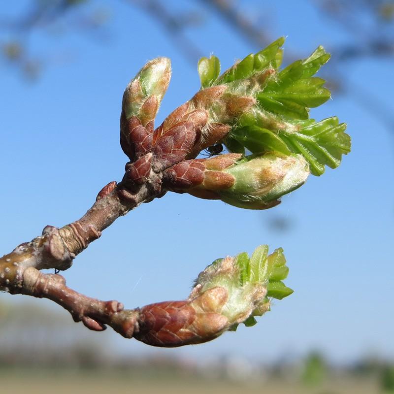 bourgeons de chêne