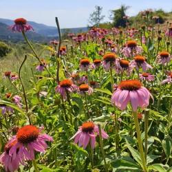 fleurs d'échinacée pourpre