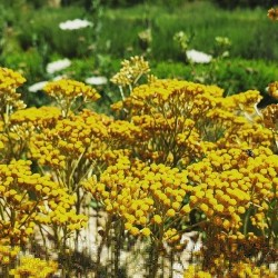 Hélichryse italienne ou immortelle