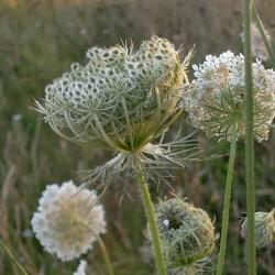 fleurs de carotte sauvage
