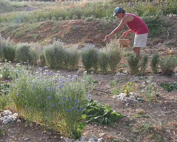 cueillette des fleurs de bleuet