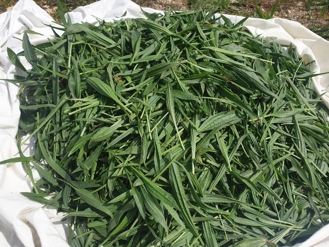 récolte de feuilles de plantain